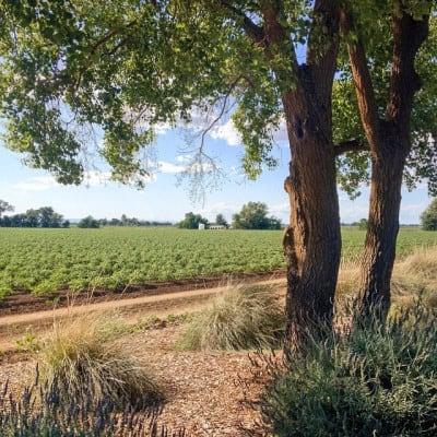 A farm field near Davis, California. (Photo by Peter Alfred Hess/flickr)
