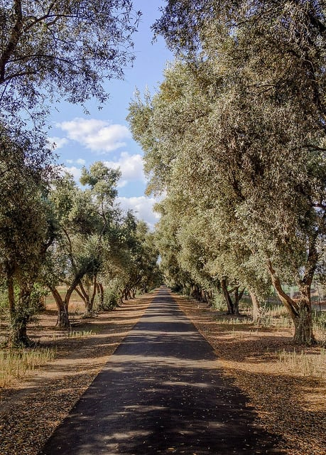 Olive trees in Davis, Calif. (Photo by Peter Alfred Hess/flickr)