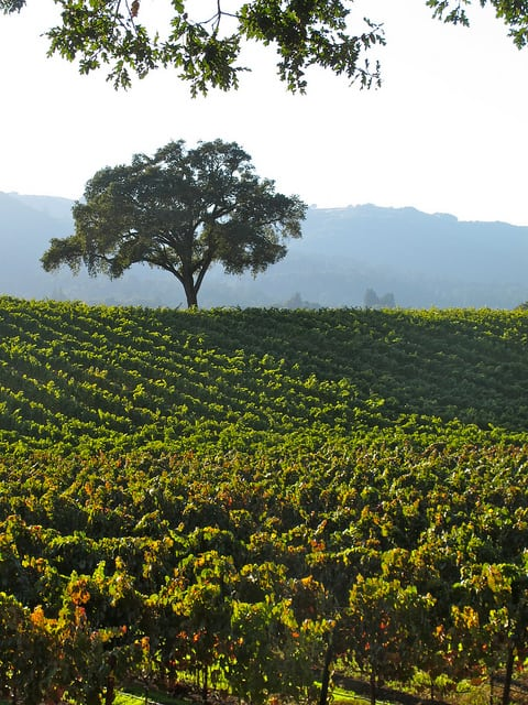 An oak tree towers over a vineyard in Sonoma, California. (Photo by torbakhopper/flickr)
