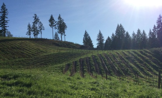 The vineyards at Noble Estate Winery, where the race begins. (Photo courtesy Pink Buffalo Racing)